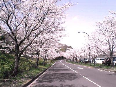 桜の木の下には……ッ!