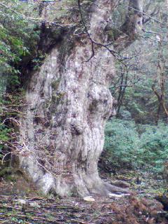 縄文杉(ケータイで撮影)