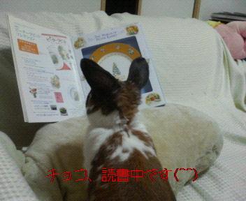 チョコ、読書中です。