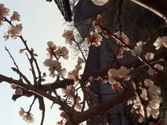 梅の花(リサイズ) H24/3/26