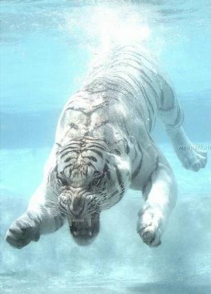 水中の虎1