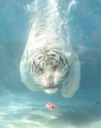 水中の虎2