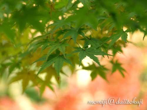 07-11-17-momiji-green.jpg