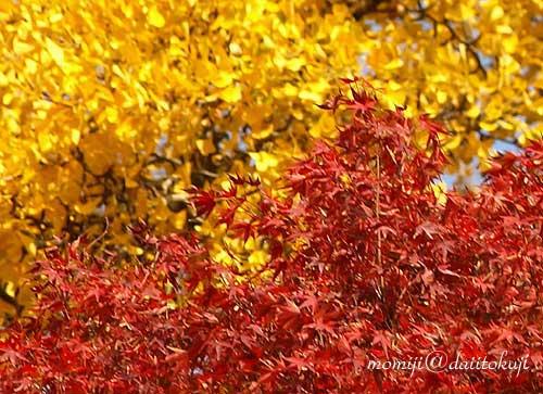07-11-17-momiji-icyo.jpg