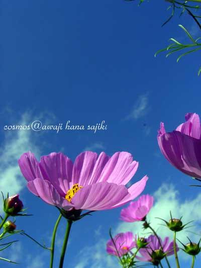 cosmos-8.jpg
