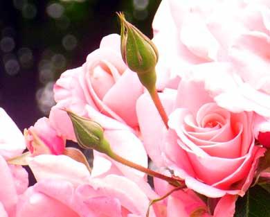 rose-p.jpg