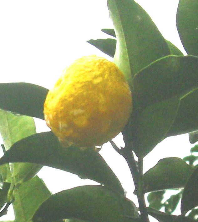 柚子の実です