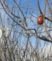 取り残された渋柿 冬ですね