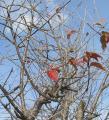 冬の桜です