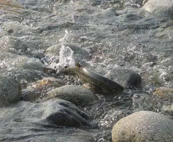 鮭の遡上という名の命の饗宴