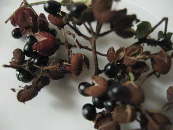 黒い種と外皮を分ける。種は蒔く