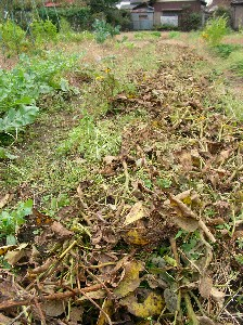 全滅した大豆畑。。。