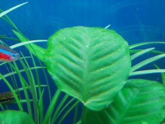 バルテリーの葉のコケ1