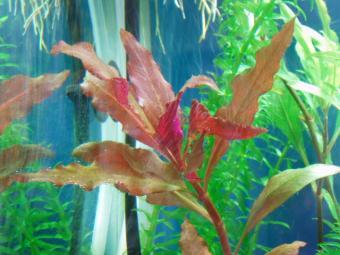 赤い葉の水草