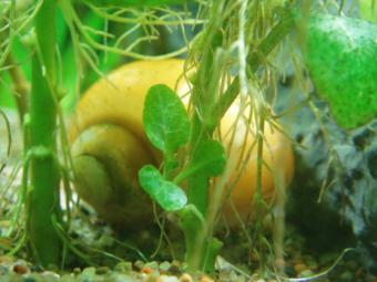 ロベリアの新芽