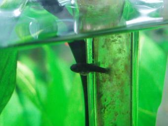 第四波モーリー稚魚