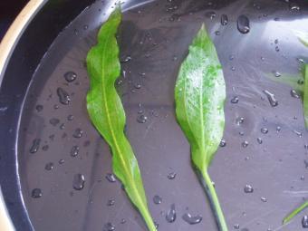 水上葉と水中葉