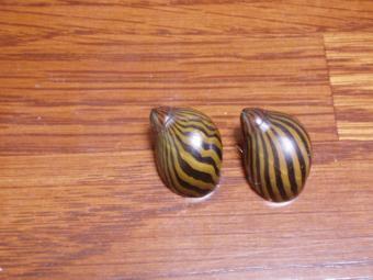 シマカノコの殻2個