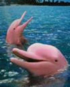 pinkdolphin.jpg