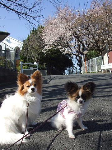 桜ショット2