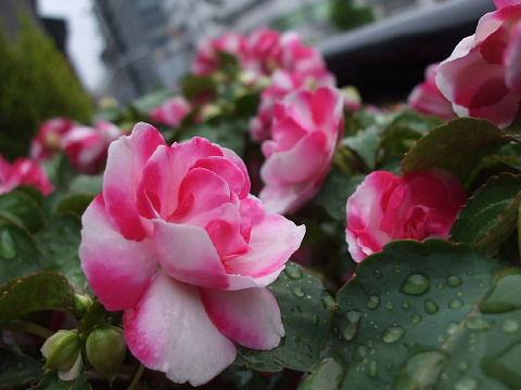 薔薇咲きインパチェンス