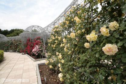 バラの壁。
