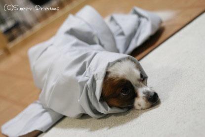 ワイシャツ犬