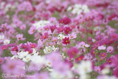 ピンクと白の絨毯♪