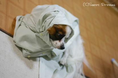 ワイシャツ犬、フィーフィー♪