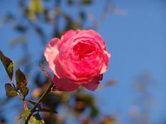 rosa novembre 2007