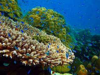 シミラン ダイビング サンゴ