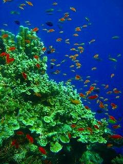 シミラン ダイビング ハナダイ群れ