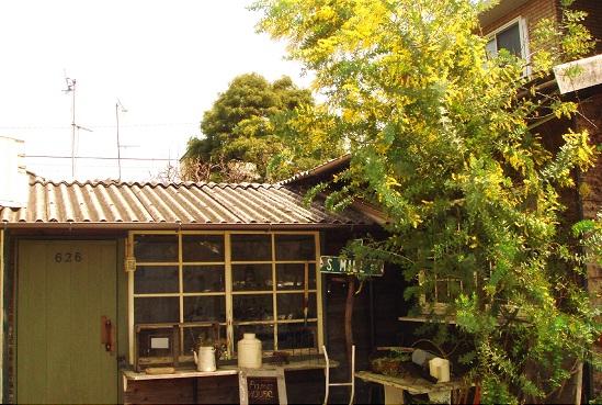 mimozakoya