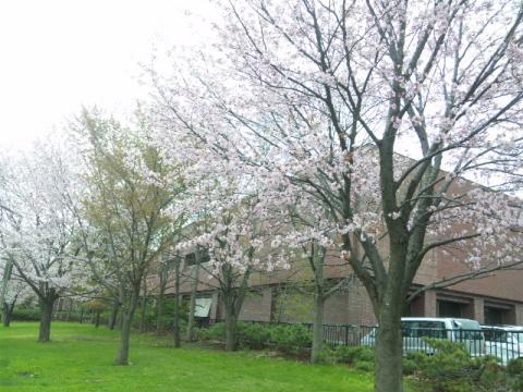 110508_中島公園 桜