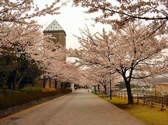 都立大前の桜並木