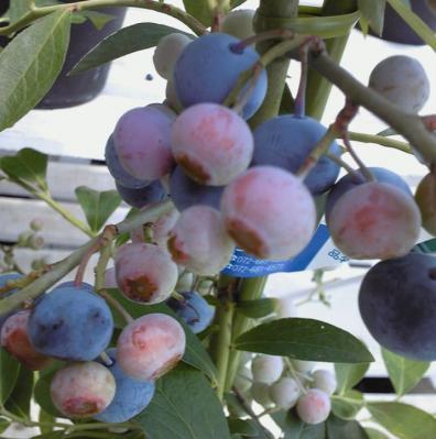 724berry.jpg