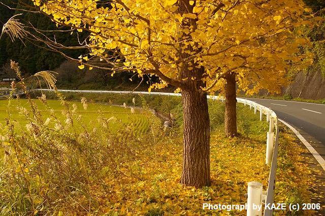 森の道の銀杏