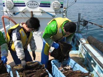稚貝の回収
