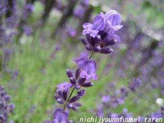 花咲いたラベンダー
