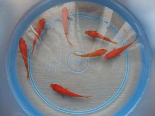 金魚は5匹
