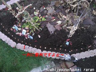 クロッカス植えます