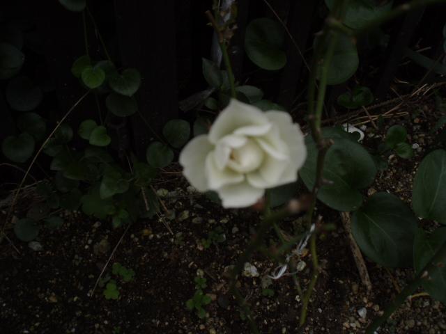 庭先の花 031