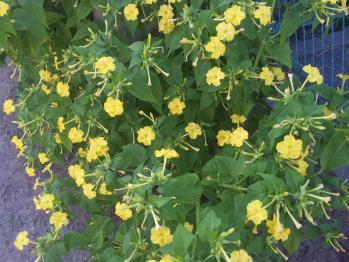 0716おしろい花