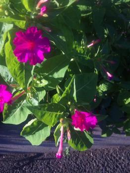 0716おしろい花1