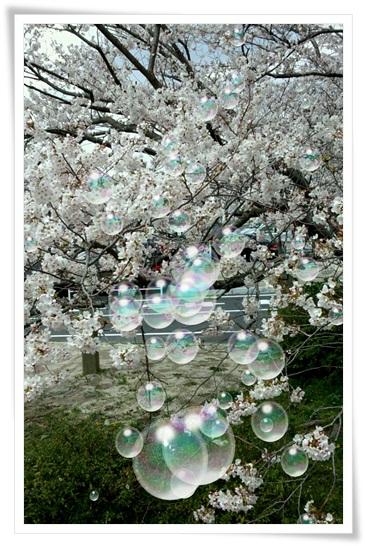 桜シャボン1