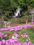 シバザクラと滝
