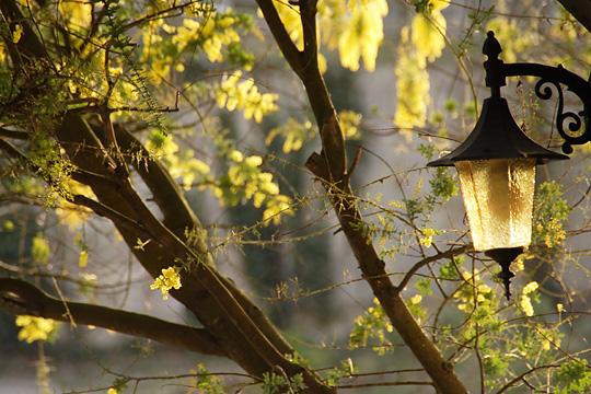 spring yellow ( ミモザ)1