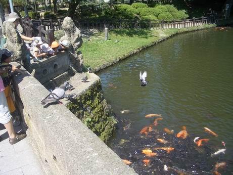 上杉神社の鯉