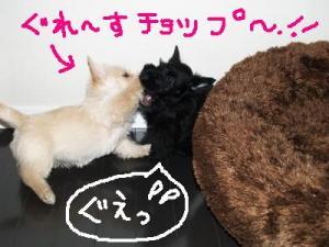 ♪ぐれ~すちょ~っぷ♪