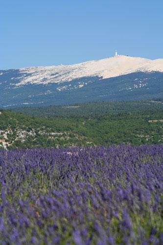 ラヴェンダー畑とヴァントゥー山